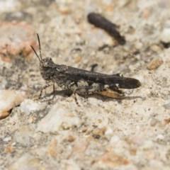 Pycnostictus sp. (genus) (A bandwing grasshopper) at Jerrabomberra Wetlands - 16 Dec 2018 by Alison Milton
