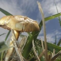 zz agaric (stem; gills white/cream) at Jerrabomberra Wetlands - 16 Dec 2018