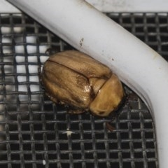 Cyclocephala signaticollis (Argentinian scarab) at Higgins, ACT - 27 Dec 2018 by Alison Milton