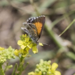 Lucia limbaria (Chequered Copper) at Jerrabomberra Wetlands - 16 Dec 2018 by Alison Milton