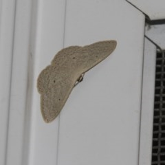 Scopula optivata (Varied Wave) at Higgins, ACT - 27 Dec 2018 by Alison Milton