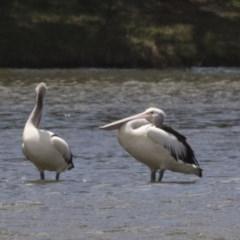 Pelecanus conspicillatus (Australian Pelican) at Gungahlin Pond - 28 Dec 2018 by Alison Milton