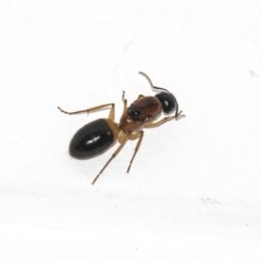 Camponotus consobrinus (Banded sugar ant) at Higgins, ACT - 28 Dec 2018 by Alison Milton