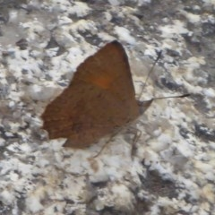 Paralucia aurifer (Bright Copper) at Gibraltar Pines - 4 Feb 2019 by Christine