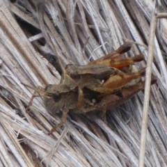 Phaulacridium vittatum (Wingless Grasshopper) at Gibraltar Pines - 3 Feb 2019 by Christine