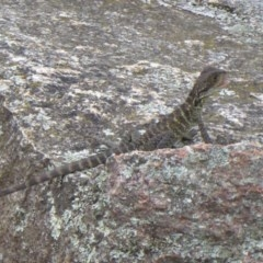 Intellagama lesueurii (Eastern Water Dragon) at Gibraltar Pines - 4 Feb 2019 by Christine