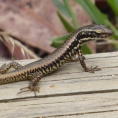 Eulamprus heatwolei (Yellow-bellied Water-skink) at Gibraltar Pines - 4 Feb 2019 by Christine