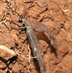 Myrmeleontidae (family) (Unidentified Antlion Lacewing) at Ainslie, ACT - 2 Feb 2019 by jbromilow50