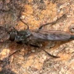Cerdistus sp. (genus) (Robber fly) at Majura, ACT - 1 Feb 2019 by jbromilow50