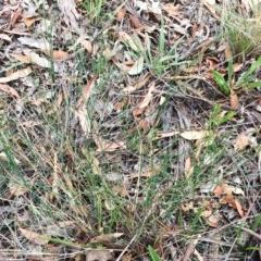 Tricoryne elatior (Yellow Rush Lily) at Attunga Point - 31 Jan 2019 by ruthkerruish