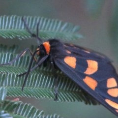 Amata sp. (genus) (Tiger Moth) at Mount Ainslie - 2 Feb 2019 by jbromilow50