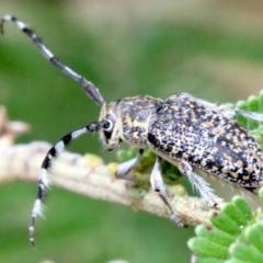 Ancita sp. (genus) (Longicorn or longhorn beetle) at Ainslie, ACT - 2 Feb 2019 by jbromilow50