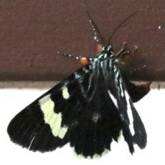 Phalaenoides glycinae at Ainslie, ACT - 2 Feb 2019