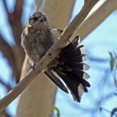Artamus cyanopterus (Dusky Woodswallow) at Macgregor, ACT - 4 Feb 2019 by RodDeb