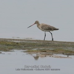 Limosa lapponica (Bar-tailed Godwit) at Jervis Bay National Park - 29 Jan 2019 by Charles Dove