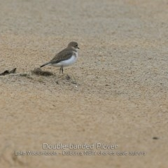 Charadrius bicinctus (Double-banded Plover) at Jervis Bay National Park - 29 Jan 2019 by Charles Dove