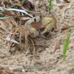 Ocypode cordimana (Ghost crab) at Orient Point, NSW - 29 Jan 2019 by Charles Dove