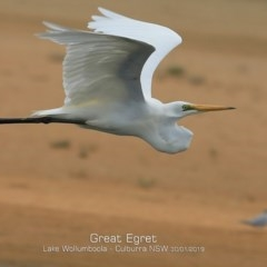 Ardea alba (Great Egret) at Jervis Bay National Park - 29 Jan 2019 by Charles Dove