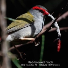 Neochmia temporalis (Red-browed Finch) at One Track For All - 28 Jan 2019 by CharlesDove