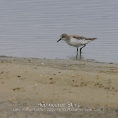Calidris (Ereunetes) ruficollis (Red-necked Stint) at Jervis Bay National Park - 29 Jan 2019 by Charles Dove