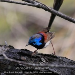Malurus lamberti (Variegated Fairy-wren) at One Track For All - 28 Jan 2019 by CharlesDove