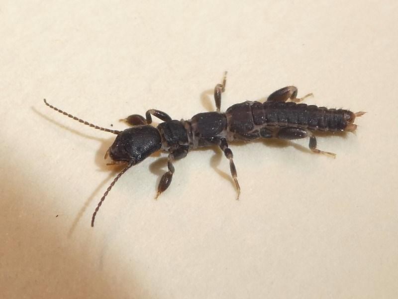 Metoligotoma sp. (genus) at Kambah, ACT - 6 Feb 2019