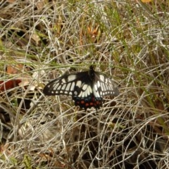 Papilio anactus (Dainty Swallowtail) at Mount Painter - 4 Feb 2019 by CathB