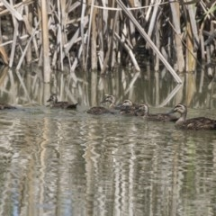 Anas superciliosa (Pacific Black Duck) at Fyshwick, ACT - 5 Feb 2019 by AlisonMilton