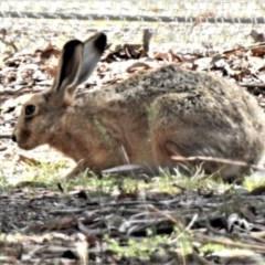 Lepus capensis (Brown Hare) at Mulligans Flat - 6 Feb 2019 by JohnBundock