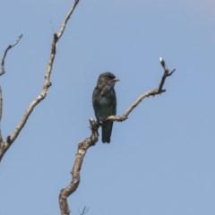 Eurystomus orientalis (Dollarbird) at Jerrabomberra Wetlands - 5 Feb 2019 by Alison Milton