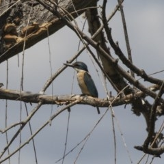 Todiramphus sanctus (Sacred Kingfisher) at Jerrabomberra Wetlands - 5 Feb 2019 by Alison Milton