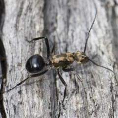 Polyrhachis semiaurata (A golden spiny ant) at Illilanga & Baroona - 22 Dec 2018 by Illilanga