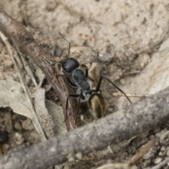 Camponotus suffusus (Golden-tailed sugar ant) at Illilanga & Baroona - 16 Dec 2018 by Illilanga