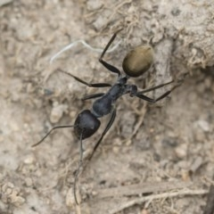 Camponotus suffusus at Illilanga & Baroona - 16 Dec 2018