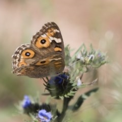 Junonia villida (Meadow Argus) at Illilanga & Baroona - 11 Jan 2019 by Illilanga