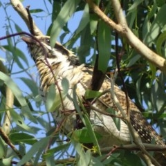 Eudynamys orientalis (Eastern Koel) at Red Hill Nature Reserve - 6 Feb 2019 by roymcd