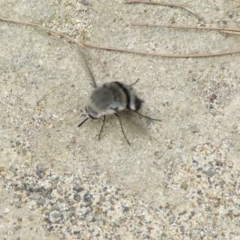Meomyia sericans (Black & Grey true Bee Fly) at Wairo Beach and Dolphin Point - 30 Sep 2008 by CBrandis