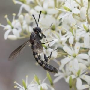 Miltinus sp. (genus) at Michelago, NSW - 30 Dec 2018
