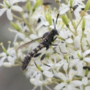Miltinus sp. (genus) at Illilanga & Baroona - 30 Dec 2018