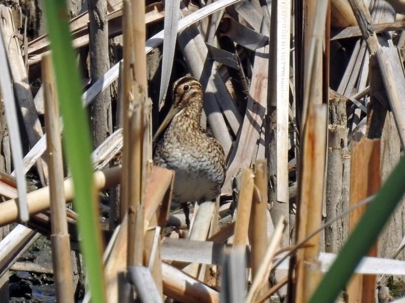 Gallinago hardwickii at Jerrabomberra Wetlands - 6 Feb 2019