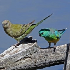 Psephotus haematonotus (Red-rumped Parrot) at Jerrabomberra Wetlands - 6 Feb 2019 by RodDeb