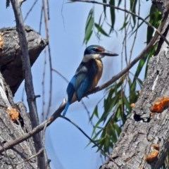Todiramphus sanctus (Sacred Kingfisher) at Jerrabomberra Wetlands - 6 Feb 2019 by RodDeb