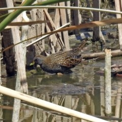 Porzana fluminea (Australian Spotted Crake) at Jerrabomberra Wetlands - 6 Feb 2019 by RodDeb