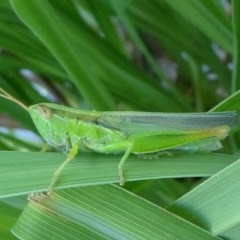 Bermius brachycerus (A grasshopper) at Kambah, ACT - 6 Feb 2019 by HarveyPerkins