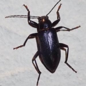 Homotrysis sp. (genus) at Ainslie, ACT - 16 Jan 2019