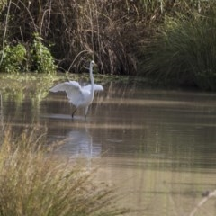 Ardea alba (Great Egret) at Jerrabomberra Wetlands - 5 Feb 2019 by Alison Milton