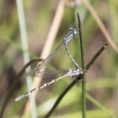 Austrolestes leda (Wandering Ringtail) at Illilanga & Baroona - 11 Jan 2019 by Illilanga