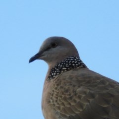 Streptopelia chinensis (Spotted Dove) at Kambah, ACT - 7 Feb 2019 by MatthewFrawley