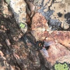 Rutilia (Chrysorutilia) sp. (genus & subgenus) (A Bristle Fly) at Brindabella National Park - 7 Feb 2019 by gregbaines