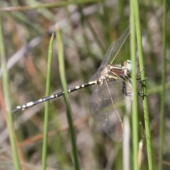 Synthemis eustalacta (Swamp Tigertail) at Illilanga & Baroona - 11 Jan 2019 by Illilanga